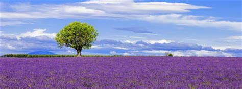 panoramic view  lavender field  tree stock images
