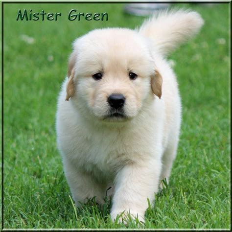 golden retriever breeders tn golden retriever breeder tennessee dogs our friends photo