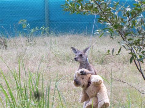 doodlebug orphaned kangaroo orphaned baby kangaroo won t let go of his teddy 2 pics