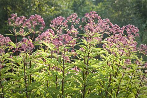 joe pye weed growing a tall late season bloomer