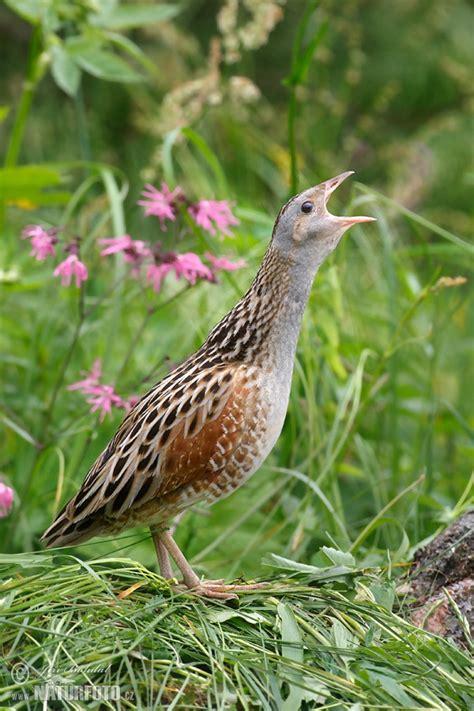 crex crex pictures corn crake images nature wildlife
