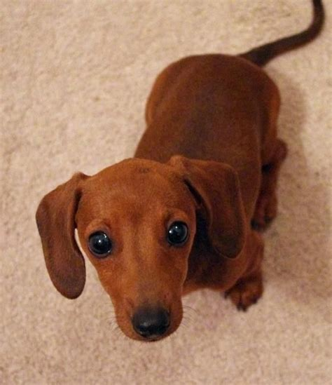 weenie dogs 25 best ideas about wiener dogs on weiner dogs weenie dogs and baby