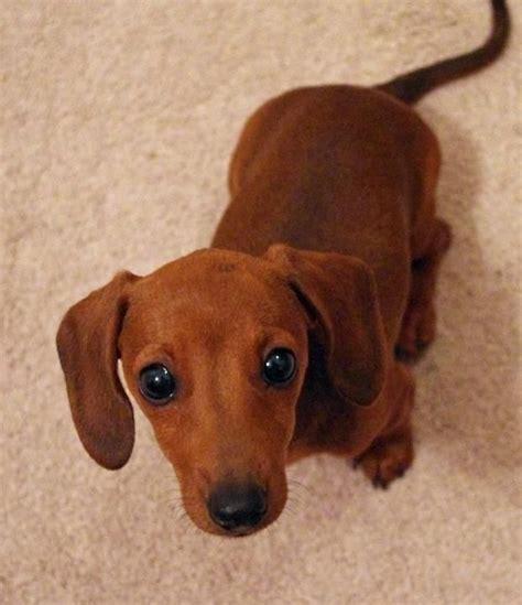 baby dachshund puppies best 25 wiener dogs ideas on dachshund puppies daschund and i got your back