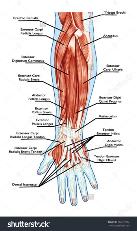 human tendons diagram forearm tendon anatomy human anatomy diagram