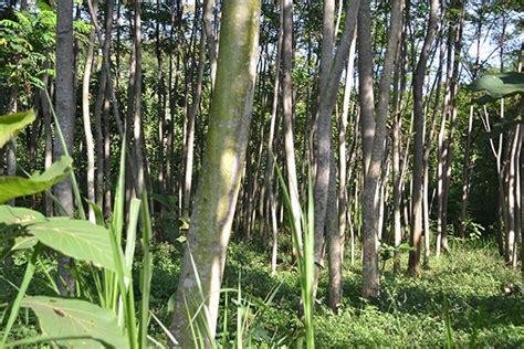 Benih Sengon Buto menanam pohon sengon pada lahan sempit di pinggir sawah
