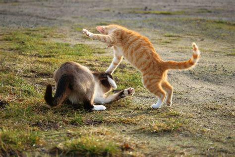 7 Ways To Stop A Cat Fight by 9 Ways To Help Stop Your Cats Fighting Desires