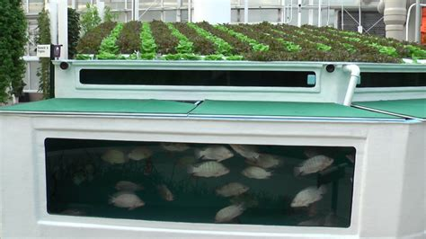 backyard tilapia aquaponics why you should consider using the tilapia fish in your aquaponics system garden