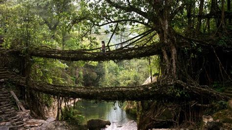 Living Bridges by Breathtaking Images Of The Living Bridges Of India Mnn