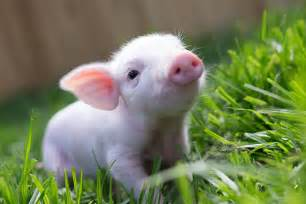 well hello piggy sue edgar s mission farm sanctuary