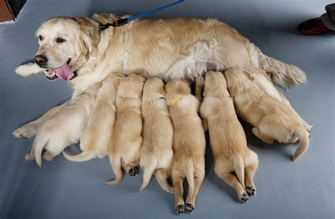 golden retriever breeders in the golden retriever network