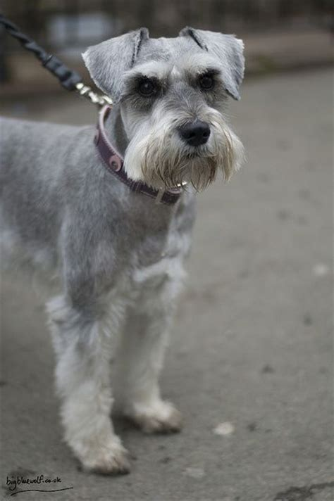 schnauzer cuts and styles 17 best images about grooming on pinterest poodles