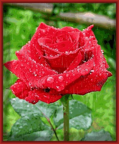 imagenes con movimiento de rosas rojas imagenes de rosas rojas hermosas con movimiento archivos