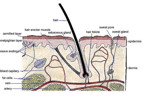 cross section of skin diagram sun togs facts about health issues suntogs