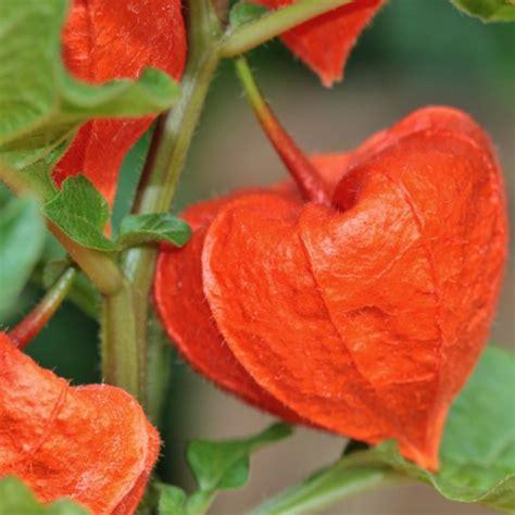 Physalis En Pot by Physalis Franchetii Plantes Et Jardins