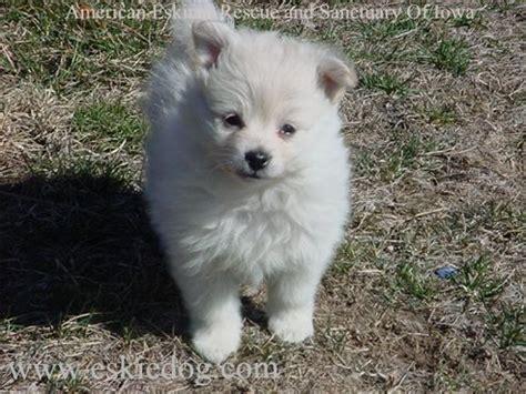 eskimo puppy american eskimo puppy photos pictures of eskie puppies