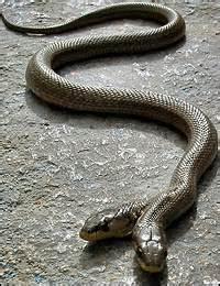 serpenti con due teste serpente a due teste a day in the
