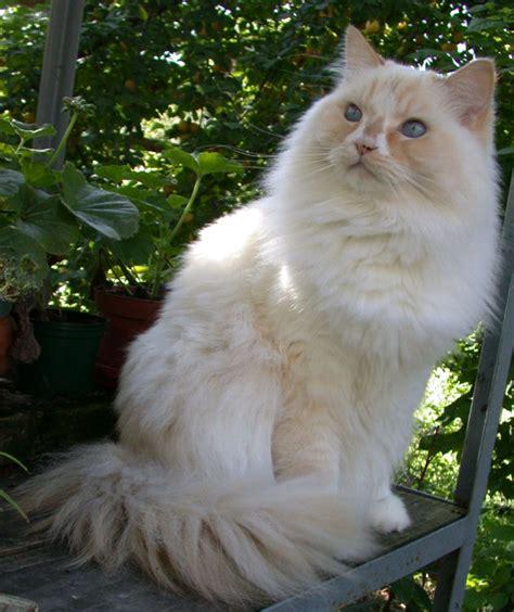 Ragamuffin cat   Wikipedia