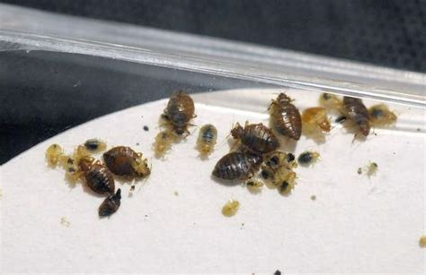 bed bugs milwaukee bed bugs rise in wisconsin