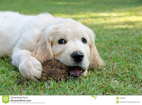 golden retriever garden golden retriever gr puppy in garden stock image image of garden 7953001