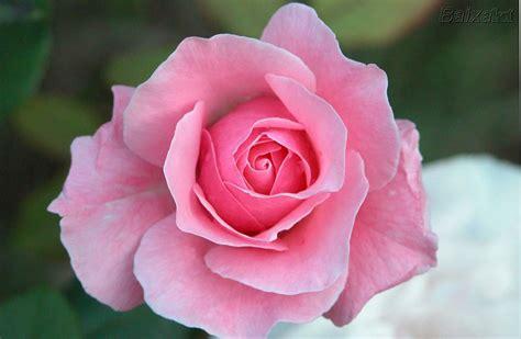 imagenes para perfil rosas uma flor para dona etelvina maneirasimples