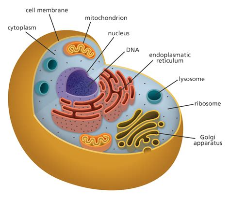 what is a cell facts yourgenome org