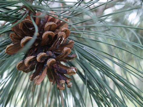 Pine Cone Trees | file pine cone on pine tree jpg wikipedia