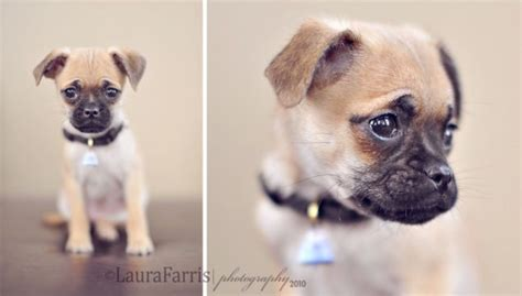 teacup chihuahua and pug mix chug pug chihuahua mix this is now one of three dogs i want just