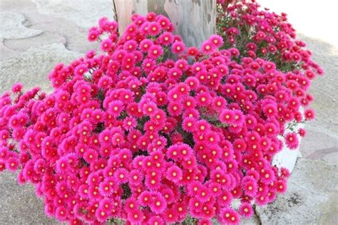 fiori balcone pieno sole fiori da balcone fiori da vaso estivi pieno sole