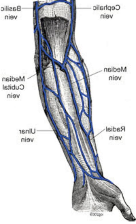 arm veins diagram arm vein anatomy characters anatomy
