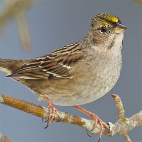 best 28 yellow capped sparrow golden crowned sparrow