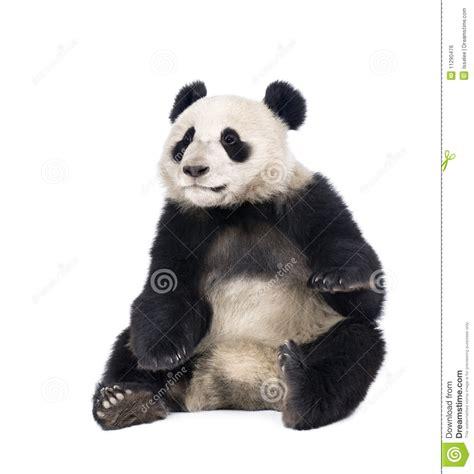 giant panda sitting  white background stock photo