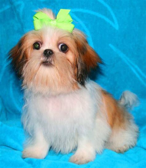 junique shih tzu nursery indiana shih tzu puppies for sale in akc shih tzu