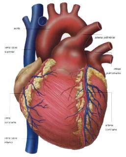 el corazn de los 8417007172 el coraz 211 n cuerpo humano como cuidarse medicina salud prevenci 243 n enfermedades y tratamientos