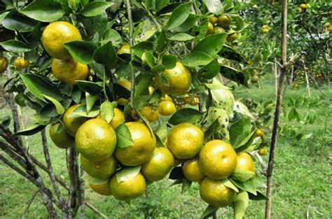 supplier jual buah jeruk pontianak murah berkualitas segar