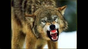 scary wolf growling youtube