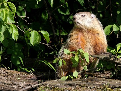i have a groundhog in my backyard groundhog in my backyard 28 images i have a groundhog