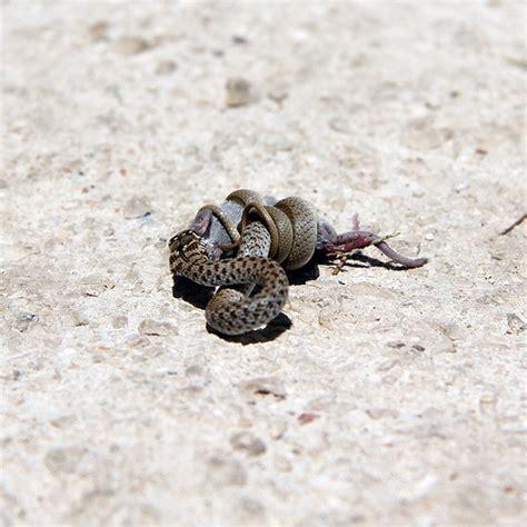 Garden Snake Eat Mice Snake Mouse Milna Brač Explore Sanjaaa S Photos
