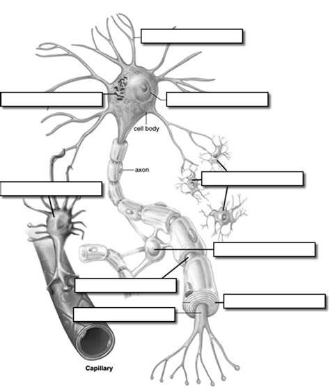 labelled diagram of nerve cell neuron label