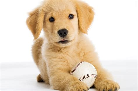 golden retriever puppies in arkansas bring your pup to bark in the ballpark at dickey stephens park april 30 rock