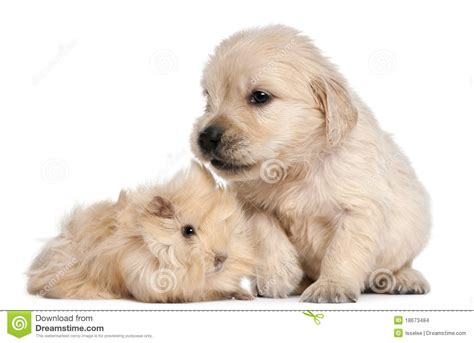 how to a pig pup golden retriever puppy and guinea pig stock images image 18673484