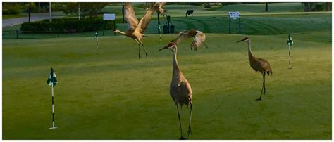 sandhill crane golf course in sandhill the villages florida golf course information