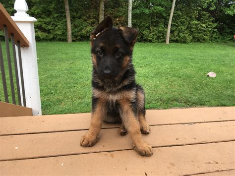 puppy howling in crate howling at in crate german shepherd forums