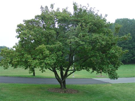 amur maple excellent medium sized tree for urban landscapes what grows there hugh conlon