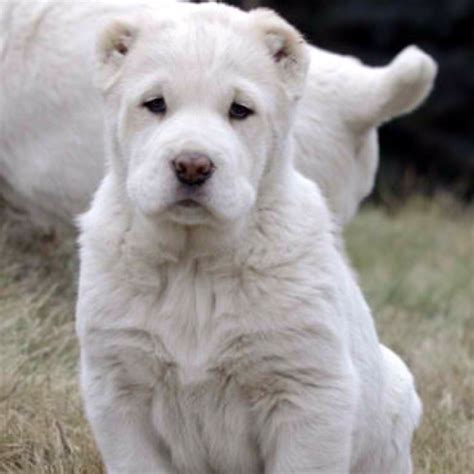 ovcharka puppies central asian ovcharka russian breeds