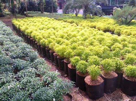 brokoli hias daun kuning catalog  landscape materials