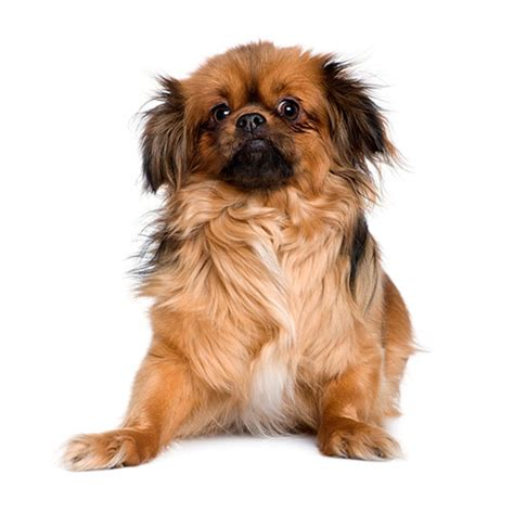 100 pics breeds 100 pics breeds 12 level answer keeshond