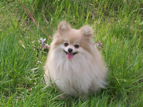 images of pomeranian dogs pomeranian tinydog net
