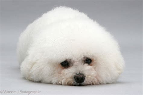 New Bathroom Images by Dog Bichon Frise Lying Chin On Floor Photo Wp14155