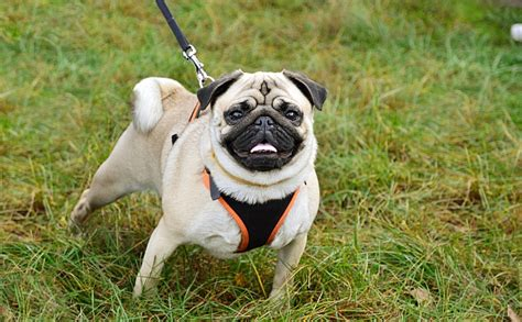 pug collar or harness tools for walking your collars leashes pet care facts