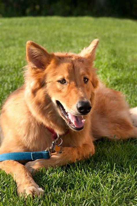 goberian puppy goberian breed 187 everything about golden retriever husky mix